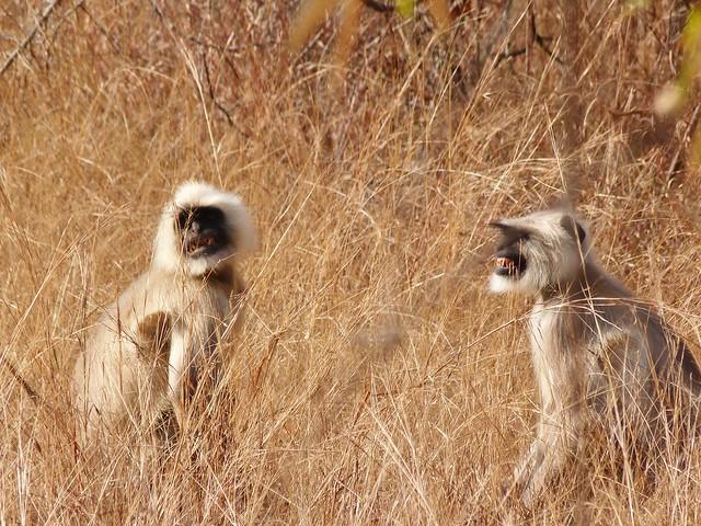 Langures en Bandhavgarh (India)