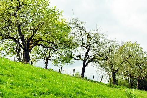 Viel Natur und Landwirtschaft rund ums Kloster Neuburg bei Heidelberg. Man kann herrliche Waldspaziergänge machen und hat immer wieder tolle Blicke auf das Neckartal und den Königstuhl. Eine besondere Überraschung waren die ganz jungen Frühlings-Lämmchen auf dem Klostergelände ... so zart und süüüß !!! Foto: Brigitte Stolle April 2016