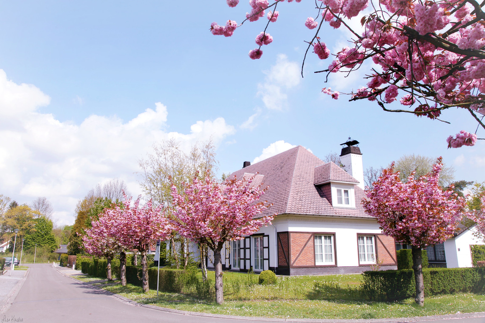 cherry blossom trees april spring neighborhood suburbs sunny weather blue sky street villa house europe belgium pink flowers in bloom