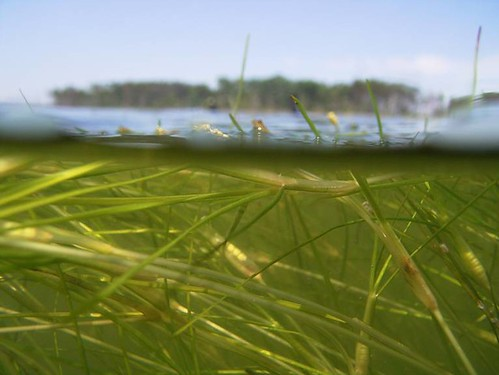Widgeon grass in clear mid bay water