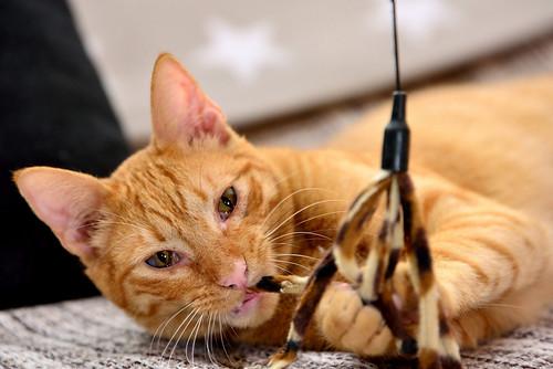 Jerry, gatito rubio guapo muy dulce y bueno, esterilizado, nacido en Abril´15 en adopción. Valencia. ADOPTADO. 24017289269_7a6952be46