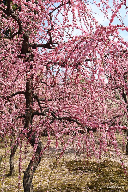 但掉在绿色青苔上配上粉色梅花花瓣的衬托  一朵红色的桩花像极了