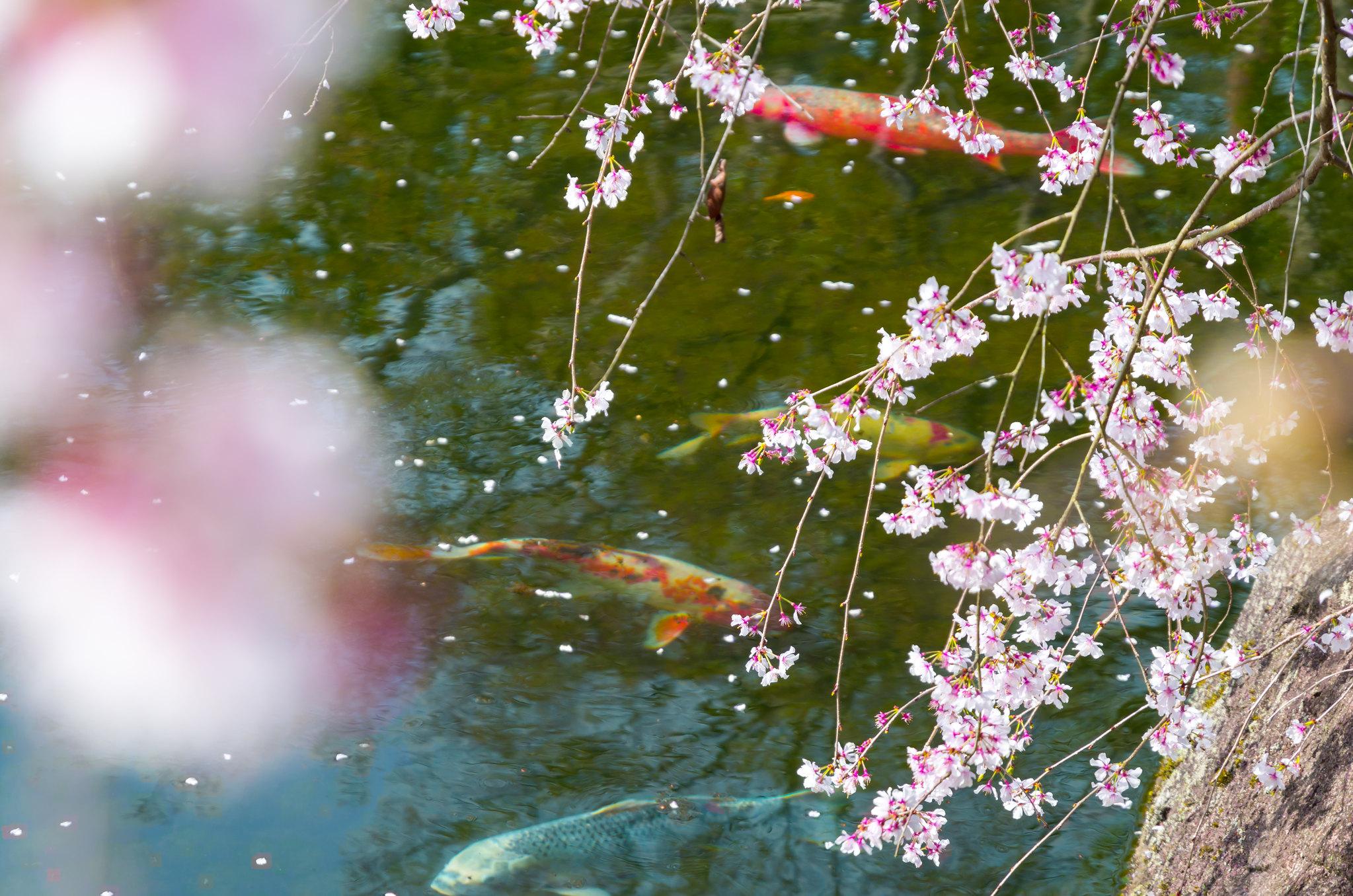 枝垂れ桜池