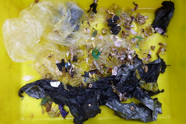 20160307_金沙灣死亡綠蠵龜腸胃中的糖果紙。攝影:郭芙。