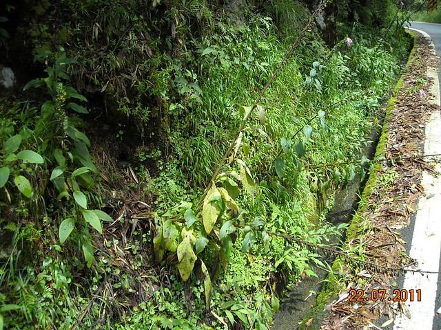 栗背林劬築巢地點常靠近道路,有路就難逃獵人捕捉。攝影:姚正得
