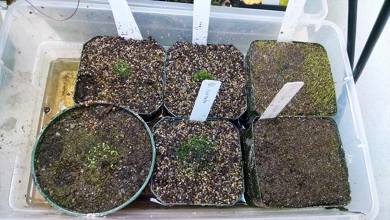Utricularia tray.