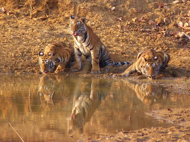 Tigres en Bandhavgarh (India)