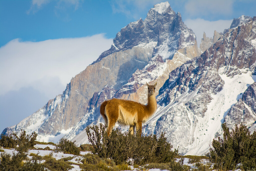 In Winter you may see more guanacos than humans