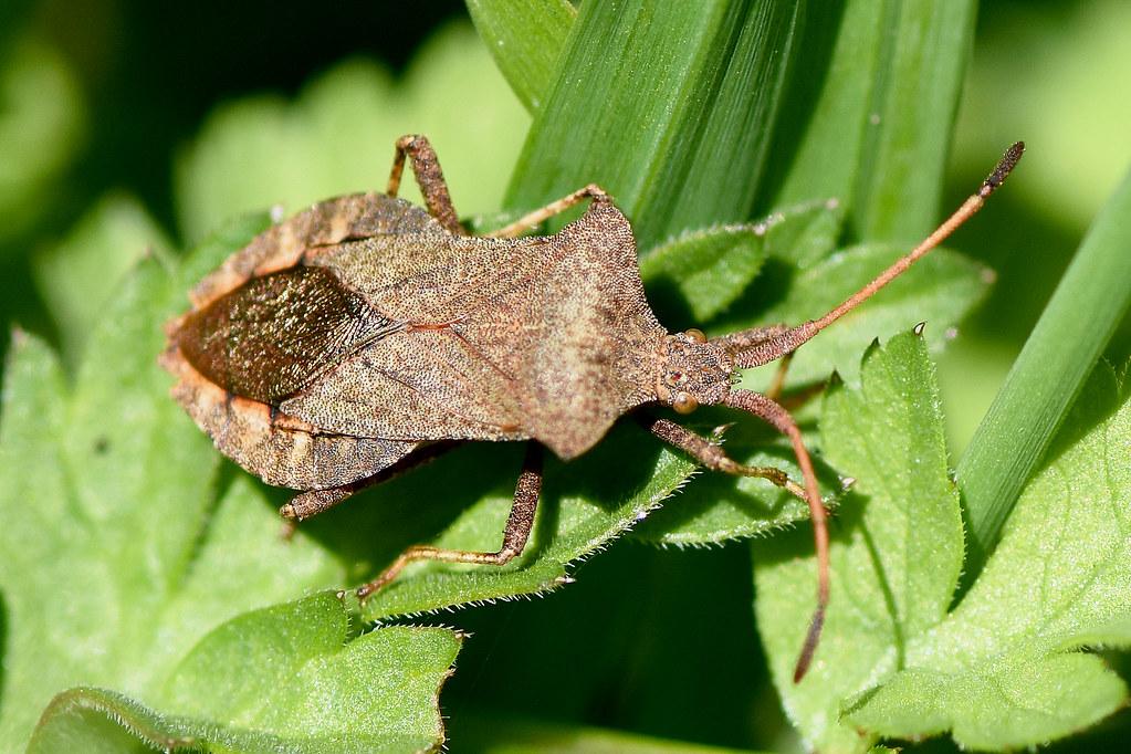 DSC_2341 Doc leaf bug Green lane Trowbridge | Lawrence ...