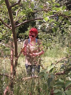Sharpening an austrian scythe in an orchard