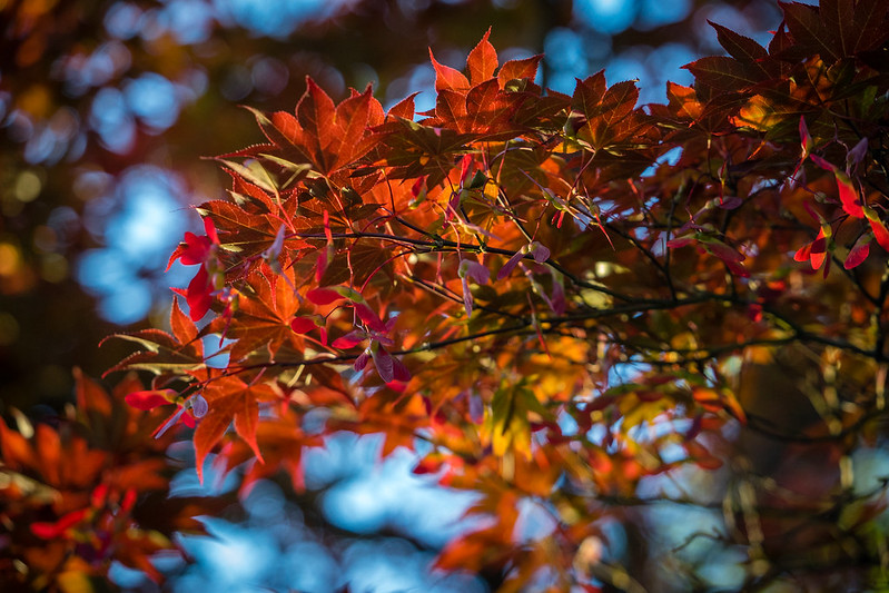 Sony a7 | Sony 70-300mm f/4.5-5.6 G OSS | Image of a Japanese Maple(?) at sunset showing the lovely bokeh the lens produces under optimal conditions.