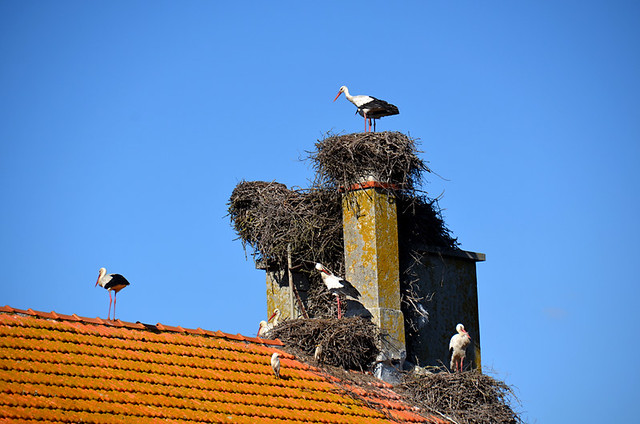 Storks on the nest