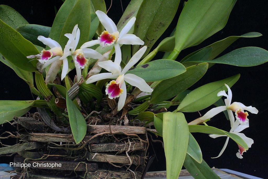 Cattleya × blossfeldiana 27771805357_b94c7ea778_b