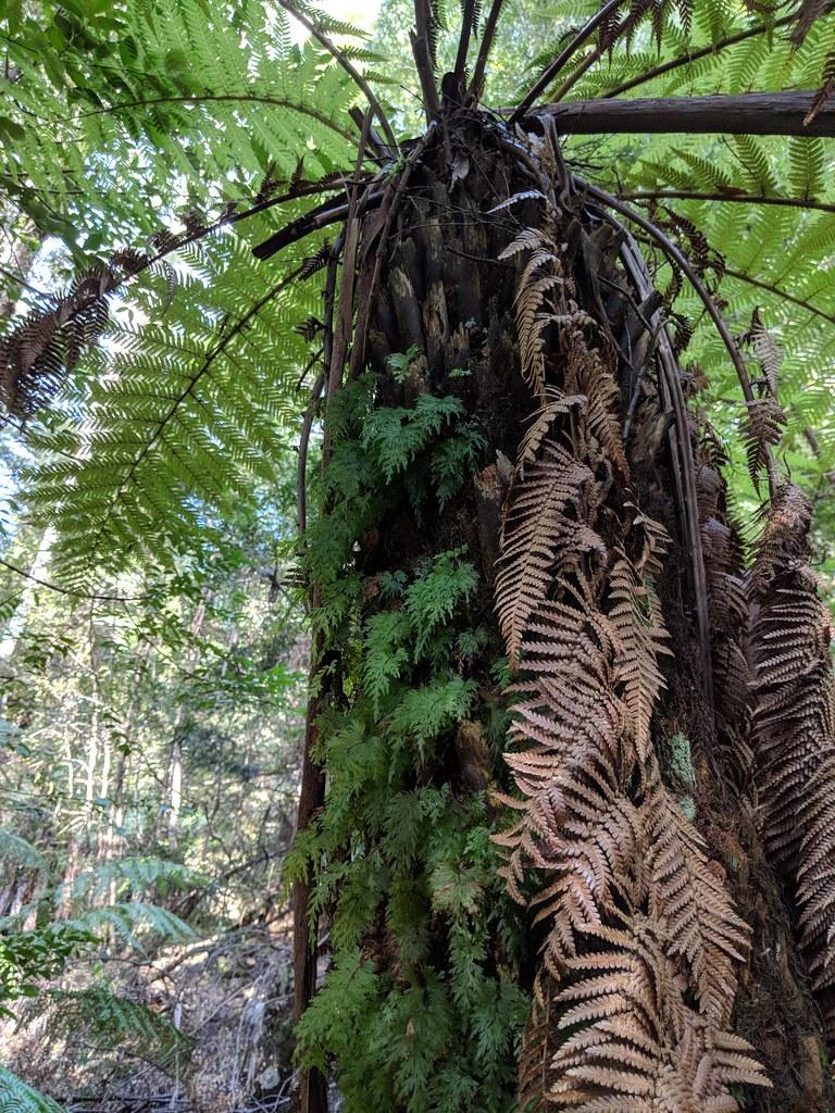 塔島的溫帶雨林,下層跟台灣一樣有豐富的樹蕨族群