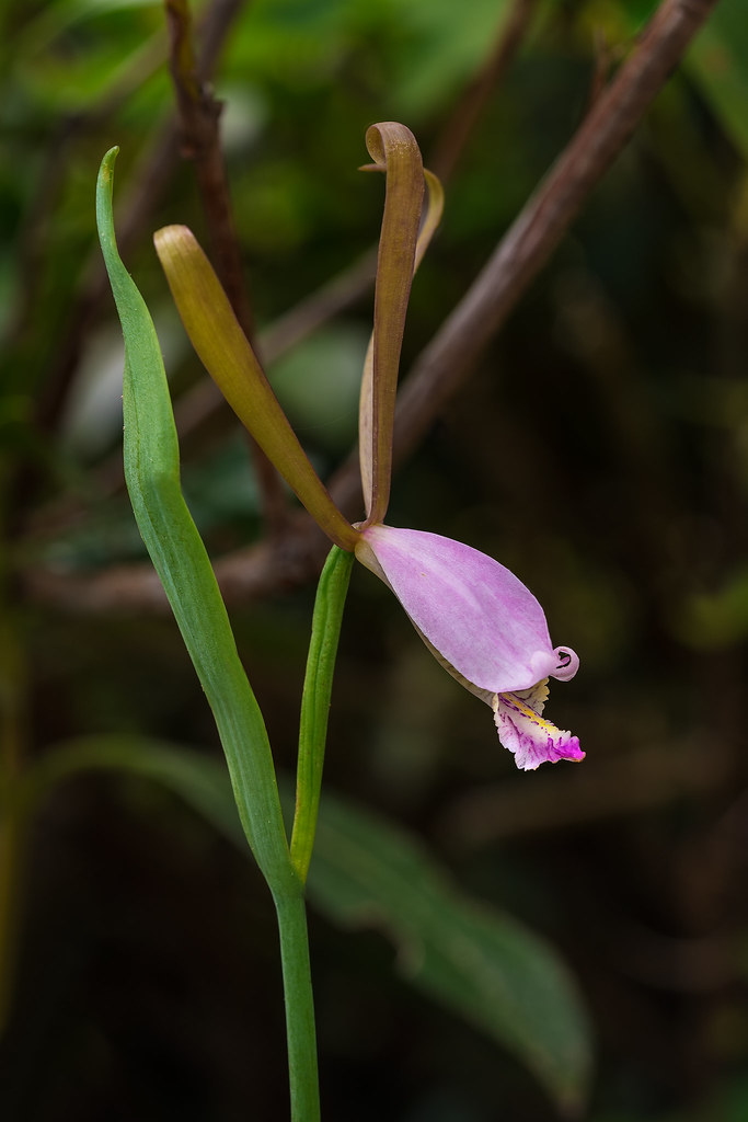 Mountain Small Spreading Pogonia orchid