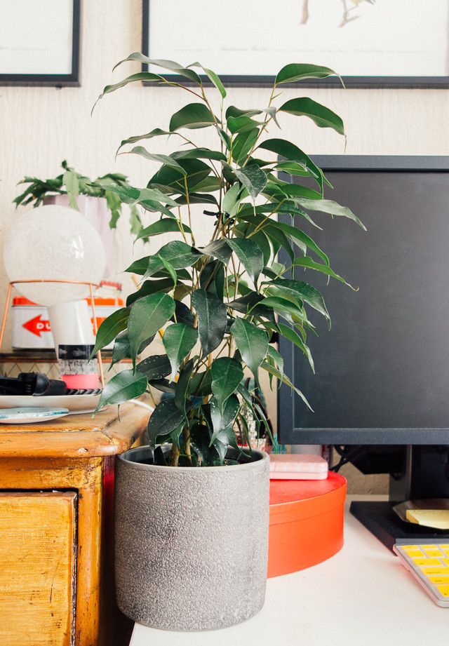 ficus benjamina in grey pot