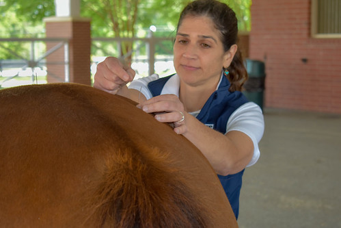 Dr. Kara Lascola uses acupuncture to treat a horse.