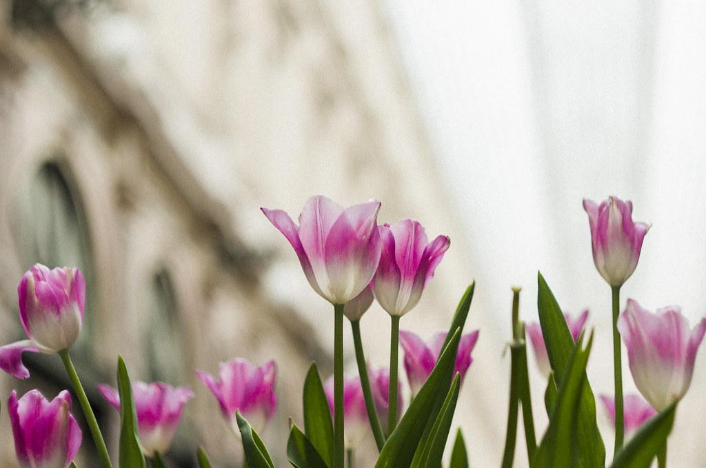 różowe tulipany w Brukseli