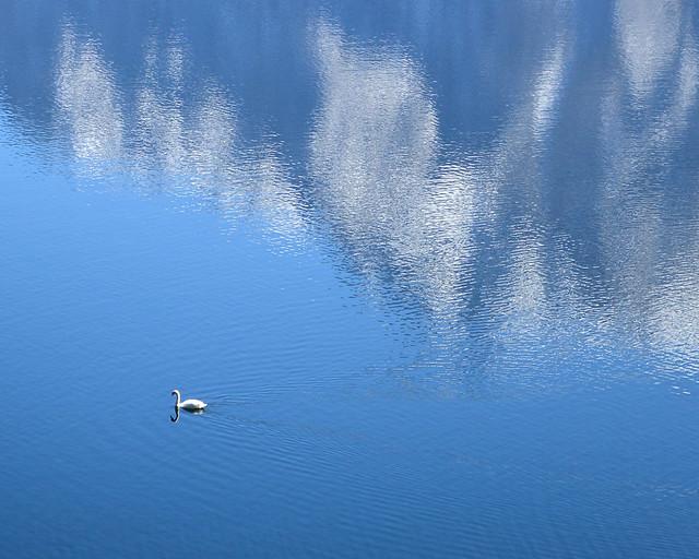 Cisne nadando en el lago de Hallstatt