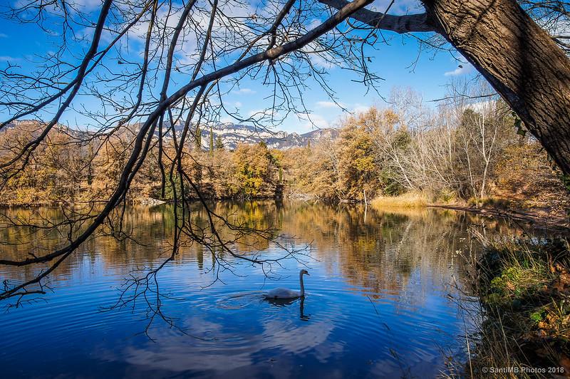 Cisne en el Estany de Graugés