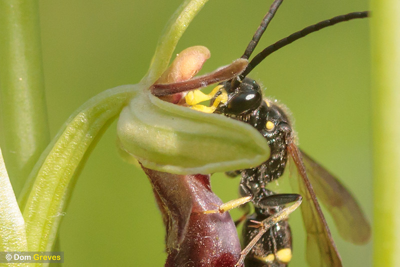 Digger wasp with fly orchid pollinia