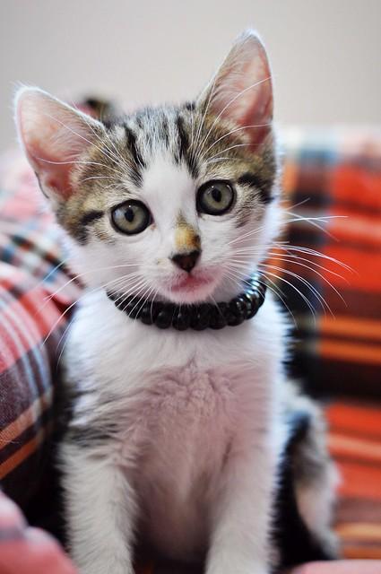 Sento, gatito blanquipardo dulcísimo y guapo nacido en Abril´18, en adopción. Valencia. ADOPTADO. 41970086434_5660fa9144_z