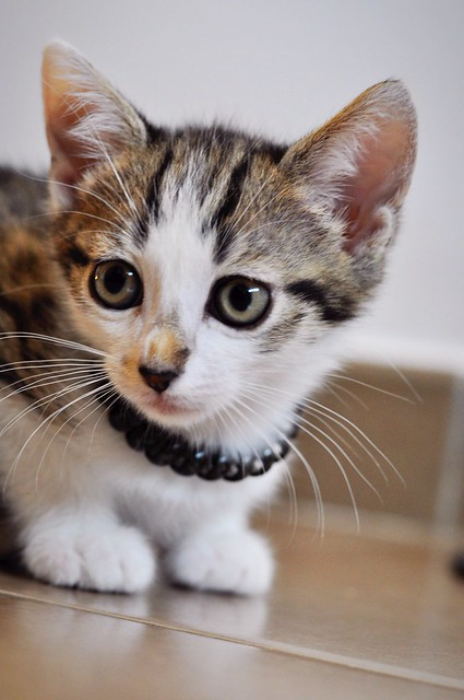 Sento, gatito blanquipardo dulcísimo y guapo nacido en Abril´18, en adopción. Valencia. ADOPTADO. 41970086654_bf6be1a701_z