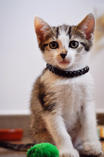 Sento, gatito blanquipardo dulcísimo y guapo nacido en Abril´18, en adopción. Valencia. ADOPTADO. 42688250281_efff2d1a9a_z