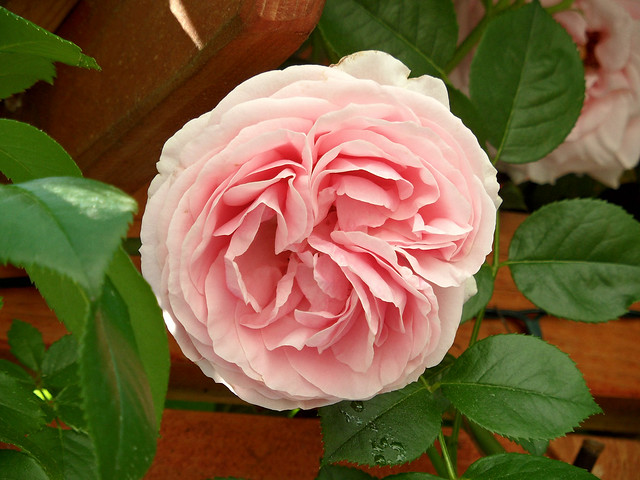 Gefüllte rosa blühende Kletterrose