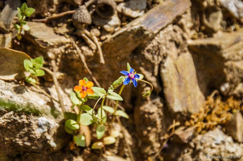 Flores de pimpinela escarlata