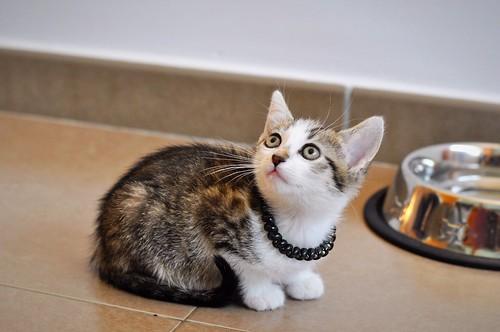 Sento, gatito blanquipardo dulcísimo y guapo nacido en Abril´18, en adopción. Valencia. ADOPTADO. 27819575917_7cbd437e7e
