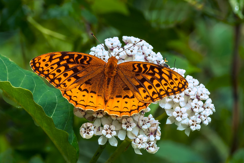Great Spangled Fritillary nectaring on Red-ring Milkweed