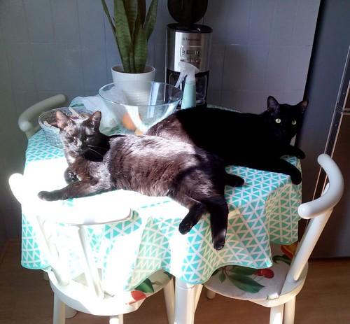 Morgana, gatita negra monísima, juguetona y tímida esterilizada, nacida en Julio´16, en adopción. Valencia. ADOPTADA. 41508391235_dfac4b0da7