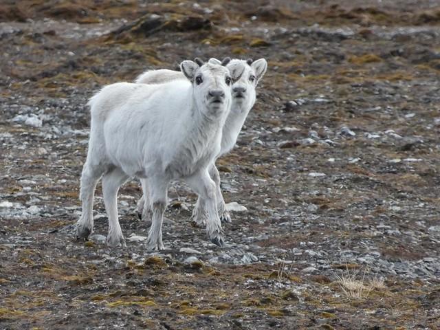 Renos jóvenes en Svalbard
