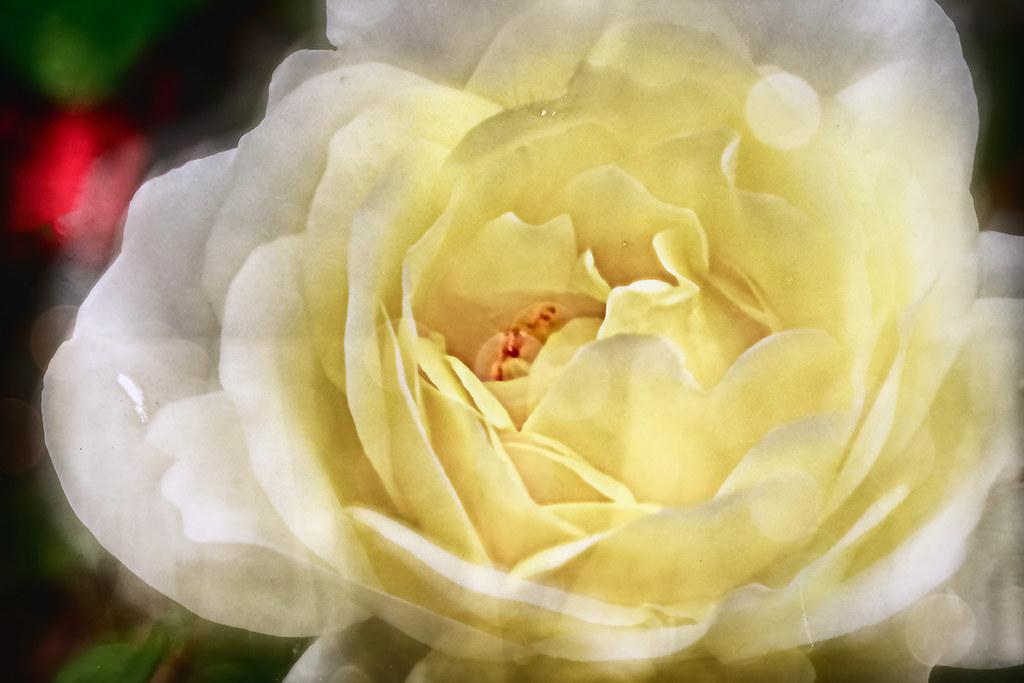 Rosaceae: Yellow rose