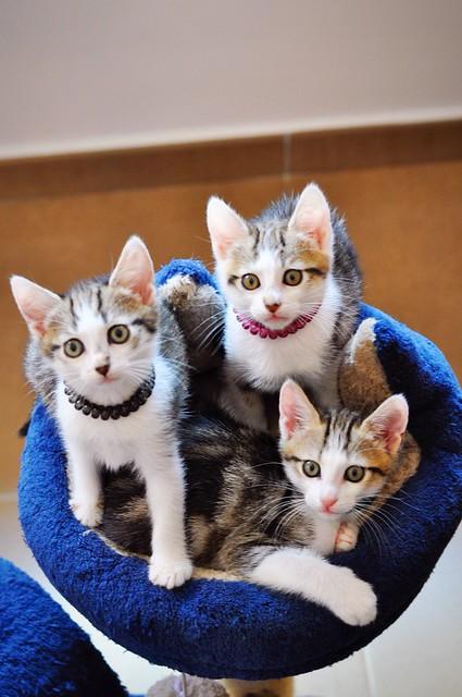 Sento, gatito blanquipardo dulcísimo y guapo nacido en Abril´18, en adopción. Valencia. ADOPTADO. 40879062700_932dd17b37_z