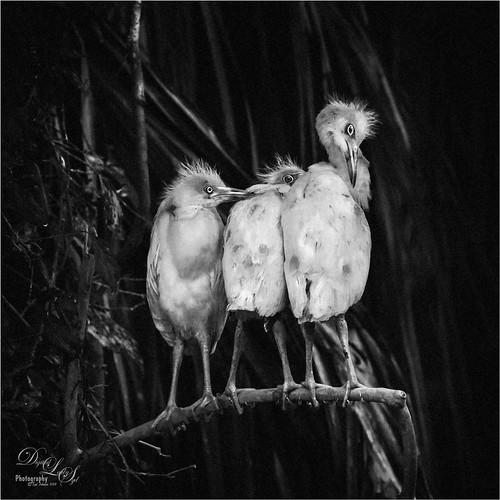 Image of three Snowy Egret chicks