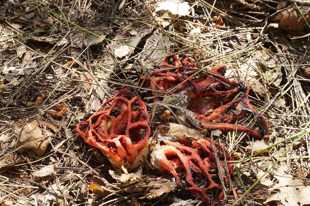 Решёточник красный (Clathrus ruber). Автор фото: Прокофьев Сергей