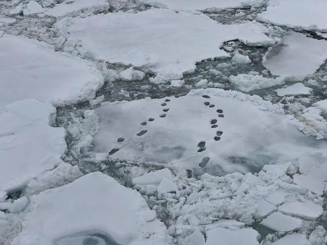 Huellas de oso polar en el hielo de Svalbard