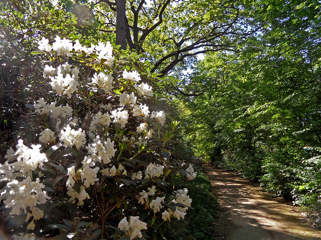 Weiß blühender großer Rhododendronstrauch