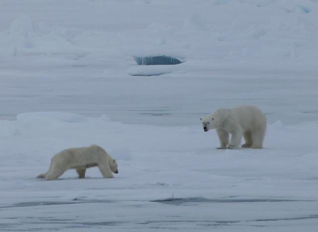Osos polares en Svalbard