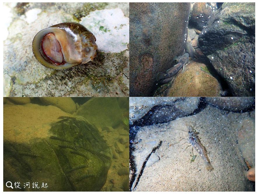 6_體型不到10公分的水生物,靠著自己的腹鰭腹足,費盡力氣扭動攀爬到中上游繁殖。