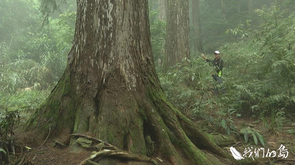 958-3-6十棵高齡八十歲的台灣杉,活樹冠率達60%,是日治時期留下「未來木」的最佳見證。