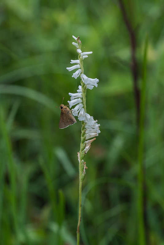 Grass-leaved Ladies'-tresses orchid