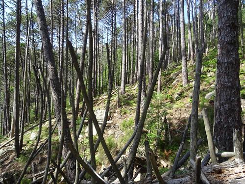 Le chemin du Castedducciu (RG Finicione) dans la pinède