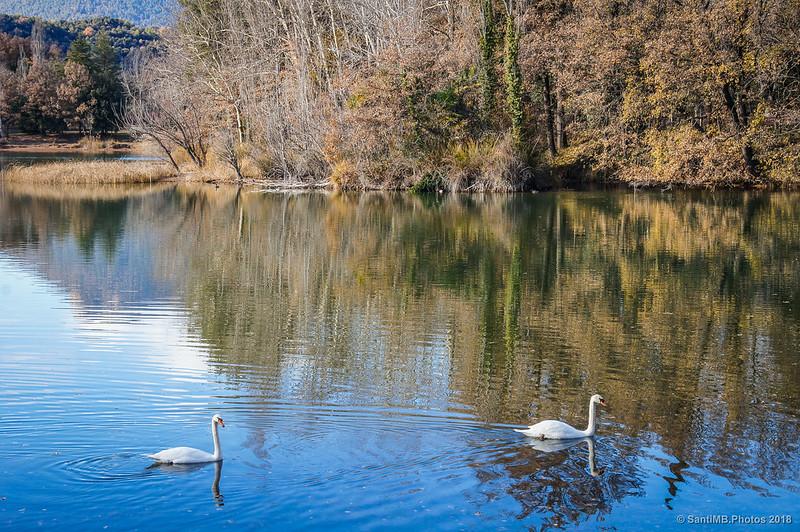 Cisnes en el Estany de Graugés