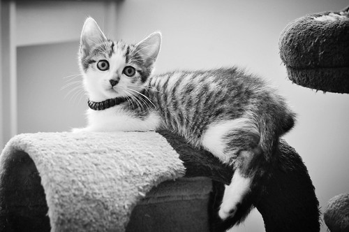 Sento, gatito blanquipardo dulcísimo y guapo nacido en Abril´18, en adopción. Valencia. ADOPTADO. 42639429112_412510b9ae