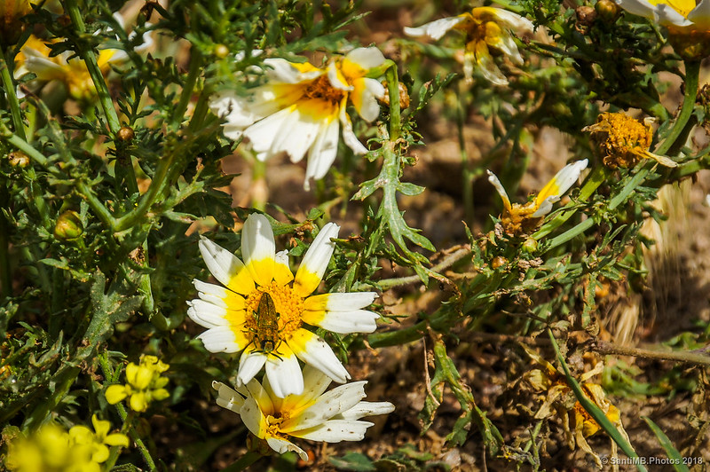 Anthaxia hungarica en flos de Chrysanthemum coronarium
