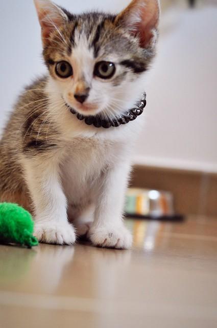 Sento, gatito blanquipardo dulcísimo y guapo nacido en Abril´18, en adopción. Valencia. ADOPTADO. 27819825747_556a53881c_z