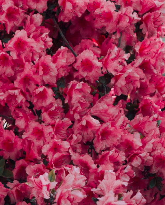 pink bougainvillea flower bush